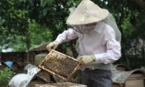 Kỹ thuật nuôi ong lấy mật hiệu quả