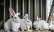 Điều trị nấm da ở thỏ