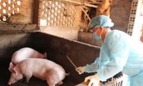 Đắk Lắk: Ngành chăn nuôi gồng mình chống dịch trên đàn heo