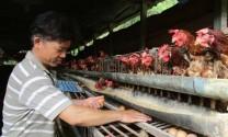 Quảng Nam: Nuôi gà siêu trứng, dưới ao thả cá, lãi 12 triệu/tháng
