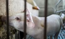 Giá thịt heo ở Trung Quốc có thể tăng 78% do dịch tả heo châu Phi lan rộng