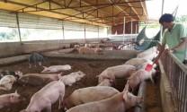 Hà Nội: 19/30 quận, huyện phát sinh dịch tả lợn châu Phi