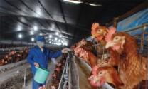 Xác định khẩu phần tối ưu cho gà đẻ