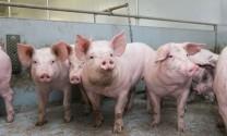 Thái Nguyên: Công bố hết dịch tả lợn Châu Phi tại T.P Sông Công