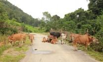 Hà Nội: Nông dân giàu lên từ chăn nuôi bò thịt