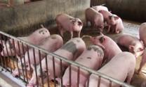'Thủ phủ' chăn nuôi Đồng Nai phát hiện thêm ổ dịch tả heo châu Phi