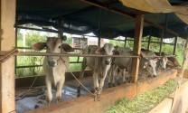 Sử dụng biogas trong chăn nuôi, giảm ô nhiễm môi trường