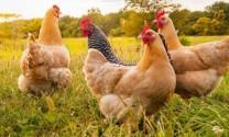 Chiến lược nuôi gà ABF