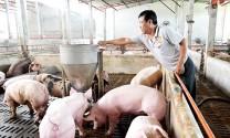 Sẵn sàng ứng phó với bệnh Dịch tả lợn châu Phi