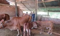Cải tạo chất lượng đàn bò bằng thụ tinh nhân tạo