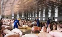 Đẩy mạnh rà soát, củng cố những khâu còn yếu trong cuộc chiến chống lại dịch tả lợn Châu Phi