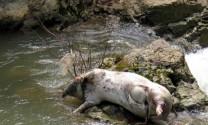 Đã có 34 tỉnh, thành phố nhiễm dịch tả lợn Châu Phi