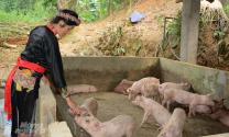 Mua lợn qua mạng, dịch tràn lan