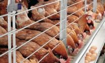 Hỏi đáp: Phòng và trị một số bệnh ở gà đẻ?