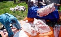 5 tỉnh miền Tây bị dịch tả heo Châu Phi lây lan