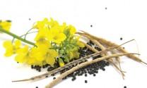 Khô dầu cải, nguồn protein thay thế khô dầu đậu tương