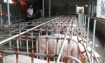 Bỏ túi tiền triệu nhờ chất thải chăn nuôi
