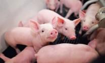 New Hope sẽ mở 3 trang trại nuôi heo tại Việt Nam