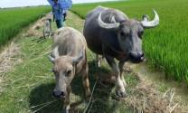 Điều trị bệnh lê dạng trùng ở trâu, bò