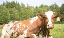Mẹo chẩn đoán bò mang thai