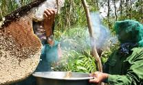 Ly kỳ chuyện 'ninja' bắt tổ ong to như cửa sổ ở rừng U Minh Hạ