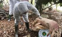 Một số giải pháp cấp bách phòng, chống bệnh Dịch tả lợn Châu Phi