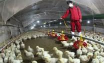Trung Quốc tăng gia cầm thay thế lợn