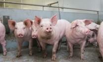 Hà Nội: 38 xã, phường qua 30 ngày không phát sinh bệnh Dịch tả lợn châu Phi