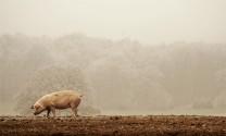 Ẩn số thị trường chăn nuôi cuối năm?