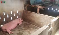 Dịch tả lợn: Thừa Thiên - Huế khuyến khích dân chuyển đổi chăn nuôi