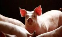 Dịch tả lợn châu Phi tại Trung Quốc nghiêm trọng hơn báo cáo chính thức