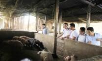 Hà Giang: Công bố hết dịch tả lợn châu Phi tại xã Tân Trịnh và thị trấn Phố Bảng