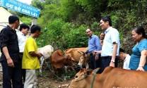 Nghệ An: Hỗ trợ bò giống cho người nghèo Kỳ Sơn