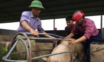 Giá heo hơi hôm nay 5/7: Khắp nơi lên giá, chợ lợn Hà Nam bán chạy
