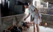 Điện Biên: Tái đàn lợn sau dịch cần thận trọng, chắc chắn