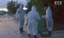 Kiến Xương (Thái Bình): Tiêu hủy 1.025 con gia cầm do mắc dịch cúm tuýp A/H5N6