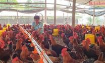 Tuyên Quang: Nhân rộng nuôi gà thịt an toàn sinh học