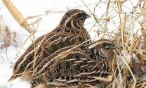 Khắc phục hiện tượng chim cút đẻ trứng trắng