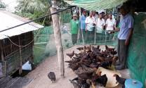 An Giang: Hiệu quả mô hình nuôi gà an toàn sinh học