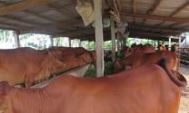 Lão nông huấn luyện bò không ăn lúa