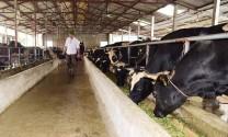 Sản xuất giống vật nuôi ở Hà Nội: Tạo đột phá từ nguồn giống chất lượng cao