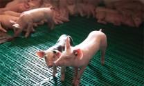 Chiết xuất men có lợi cho heo cai sữa