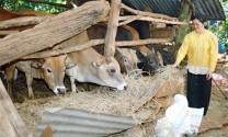 Kỹ thuật chống nóng cho gia súc