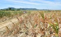 Nắng nóng kéo dài ở Nghệ An làm thiếu hụt nghiêm trọng thức ăn chăn nuôi