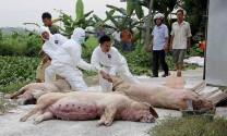 Dịch tả lợn châu Phi gây thiệt hại nặng cho người dân Quảng Nam
