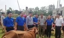Tỉnh Đoàn Thanh Hóa trao bò giống và thức ăn chăn nuôi hỗ trợ giảm nghèo cho các hộ dân huyện Thạch Thành