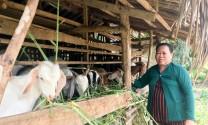 Sóc Trăng: Dê tăng giá, người chăn nuôi vẫn chưa vội bán