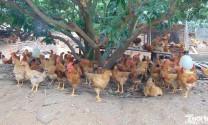 Đẩy mạnh xây dựng chuỗi liên kết chăn nuôi - tiêu thụ gà đồi Sóc Sơn