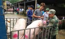 Giá heo hơi hôm nay 19/7: Tư thương tranh mua, lợn giống bán chậm