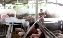 Cần Thơ: Ngăn ngừa bệnh dịch tả heo châu Phi tái phát